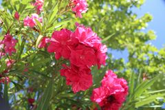 Розовая красотка стоковые фотографии rf