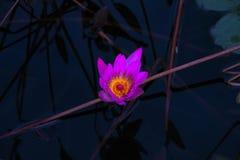 Розовая лилия воды в пруде стоковое фото rf