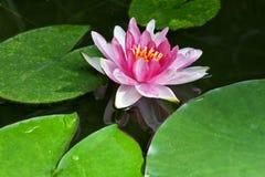 Розовая лилия воды с зелеными листьями Стоковые Фотографии RF