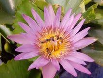 Розовая лилия воды с пчелами стоковое изображение rf