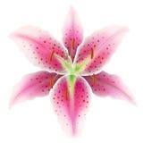 Розовая лилия на белой предпосылке Стоковые Изображения
