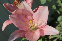 Розовая лилия, растет в саде лета стоковое изображение