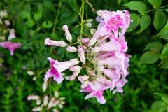 Розовая лоза трубы Стоковое Изображение