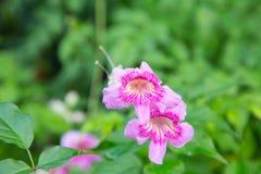 Розовая лоза трубы Стоковые Фото