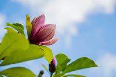 Розовая магнолия цветет предпосылка небо стоковое изображение rf