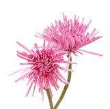 Розовая мама паука Стоковое фото RF