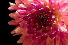 Розовая мама Стоковое Изображение