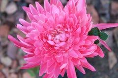 Розовая мама Стоковая Фотография