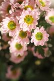 Розовая маргаритка внутри помещения стоковые изображения rf