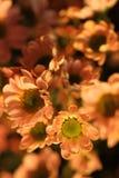 Розовая маргаритка внутри помещения стоковое фото rf
