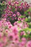 Розовая маргаритка в солнечном дне стоковые изображения