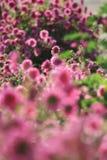 Розовая маргаритка в солнечности стоковое изображение