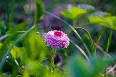 Розовая маргаритка на зеленом поле Цветок маргаритки - одичалый стоцвет Розовые маргаритки в саде Perennis Bellis стоковая фотография rf