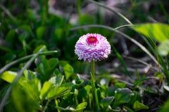 Розовая маргаритка на зеленом поле Цветок маргаритки - одичалый стоцвет Розовые маргаритки в саде Perennis Bellis стоковые изображения rf