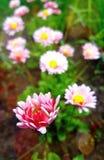 Розовая маргаритка сада стоковые фотографии rf