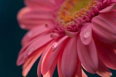 Розовая маргаритка с падением воды стоковые изображения