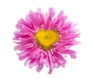 Розовая маргаритка с формой сердца Стоковые Фото