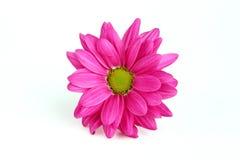 Розовая маргаритка Стоковые Фото