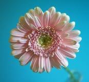 Розовая маргаритка стоковое изображение rf