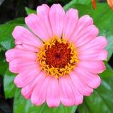 Розовая маргаритка Стоковая Фотография