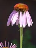 Розовая маргаритка Стоковая Фотография RF