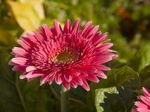 Розовая маргаритка Barberton Стоковое Изображение RF