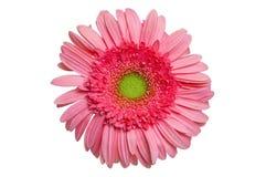 Розовая маргаритка Gerber Стоковое Фото