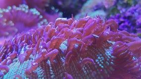 Розовая морская водоросль, мягкие кораллы с подсказками, под водой видеоматериал