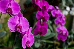 Розовая орхидея стоковая фотография