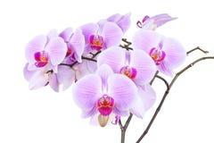 Розовая орхидея изолированная на белой предпосылке Стоковая Фотография