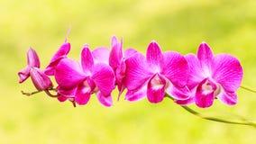 Розовая орхидея на зеленой предпосылке стоковое фото rf