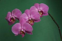 Розовая орхидея на зеленой предпосылке Стоковое Изображение RF