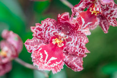 Розовая орхидея на зеленой предпосылке Стоковые Изображения