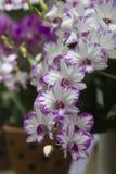 Розовая орхидея на предпосылке из фокуса Стоковое Фото