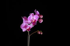 Розовая орхидея на черном backgorund Стоковая Фотография