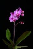 Розовая орхидея на черном backgorund Стоковые Фотографии RF