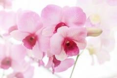 Розовая орхидея, очень малая глубина поля Стоковая Фотография RF