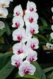 Розовая орхидея фаленопсиса Стоковые Фотографии RF