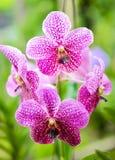Розовая орхидея Стоковые Фото