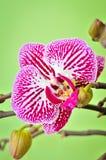 Розовая орхидея Стоковая Фотография RF