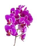 Розовая орхидея стоковые фотографии rf