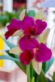 Розовая орхидея cattleya Стоковое фото RF