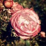 Розовая осень подняла в парк Gorky - ретро фильтр Стоковые Фотографии RF