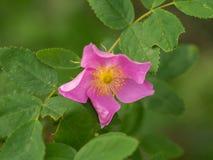 Розовая одичалая Альберта подняла Стоковое Изображение RF