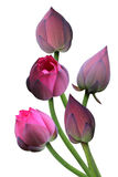 Розовая пачка лотоса стоковое фото