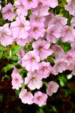 Розовая петунья сада Стоковое Изображение