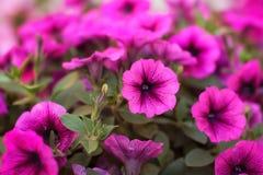 Розовая петунья стоковые фото