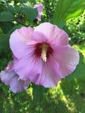 Розовая петунья Стоковое Изображение