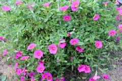 Розовая петунья Стоковая Фотография RF