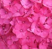 Розовая предпосылка гортензии Стоковые Фотографии RF